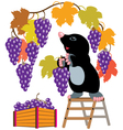 mole harvesting grapes vector image vector image