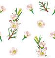 waxflower geraldton wax-flower a seamless vector image