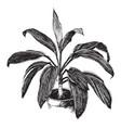 cordyline terminalis baptistii vintage vector image vector image
