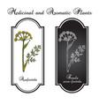 asafoetida ferula assa-foetida medicinal plant vector image vector image