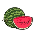Ripe and juicy watermelon isolated on white vector image