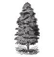 cupressus macnabiana vintage vector image vector image