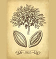 ink sketch cocoa vector image vector image
