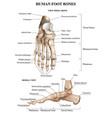 foot bones anatomy composition vector image