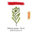 medicinal herbs of china peking spurge vector image vector image