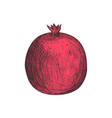 fresh pomegranate fruit hand drawn isolated icon vector image