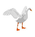 swan spread wings isolated on white vector image vector image