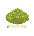 gooseberry garden berry bush with name vector image