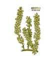 hand drawn sea grapes or umi budo algae vector image vector image