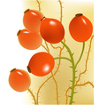 Rose hips vector image vector image