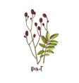branch burnet medicinal herb vector image