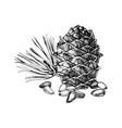 hand drawn cedar bump and pine nuts vector image vector image