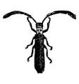 adult beetle vintage vector image vector image