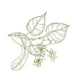 elegant drawing of linden leaves beautiful vector image vector image