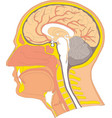 human internal brain anatomy vector image