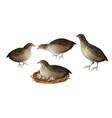 quail birds set vector image