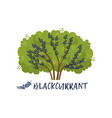 blackcurrant garden berry bush with name vector image