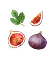 watercolor hand painted jucy fig fruit set vector image vector image