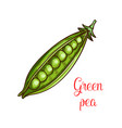 green pea vegetable sketch of fresh legume vector image vector image