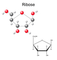 Structural chemical formula and model of ribose