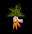 hand holding carrots vector image