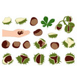 horse chestnuts vector image vector image