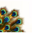 fashion background with peacock feathers vector image vector image