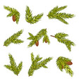 set realistic spruce branches with cones vector image vector image