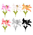 stem lily flower yellow white pink yellow red vector image vector image