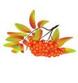autumn rowan berries vector image vector image