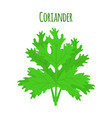 coriander herb chinese parsley vector image vector image