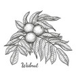 ink sketch of walnut branch vector image