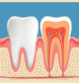 human teeth diagram cross section cavity tooth vector image vector image