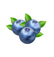 realistic blueberry isolated on white vector image vector image