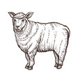 sheep farm animal sketch isolated sheep mammal on vector image vector image