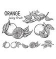 oranges hand drawn sketch vector image