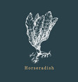 horseradish sketch drawn spice herb vector image