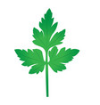 parsley branch vector image