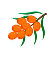 sea buckthorn isolated o vector image vector image