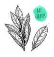 ink sketch of bay leaves vector image vector image