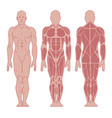 anatomy male muscular system vector image