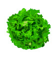 bunch of lettuce greens on a white background vector image vector image