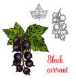 black currant sketch fruit berry icon vector image vector image