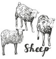 sheep set hand drawn realistic vector image vector image
