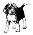 beagle bw vector image vector image