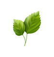 hibiscus leaves vector image vector image