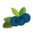 Blueberry leaves and berries vector image