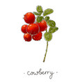 wild plant cowberry hand drawn in color vector image vector image