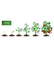 tomato plant growing set vector image