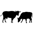 cow silhouette grazes an standing isolated on vector image vector image